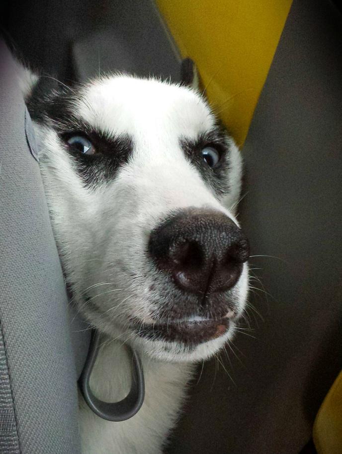 Max husky dog