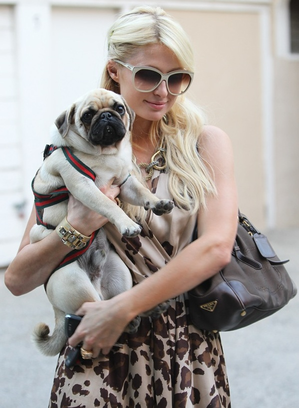 Paris Hilton Pug