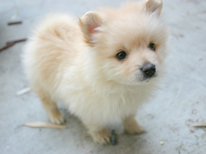 pomeranian dog names 10 best pomeranian dog names 7199