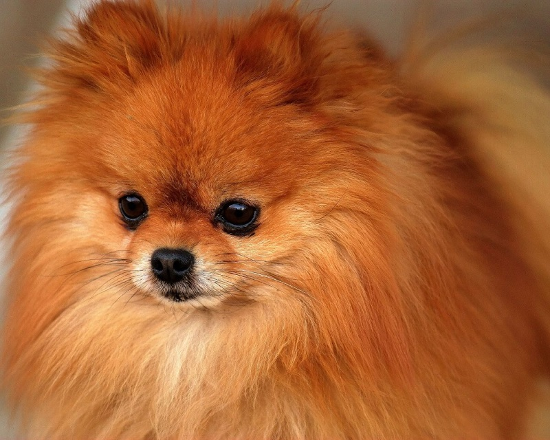 pomeranian dog names 10 best pomeranian dog names 2556
