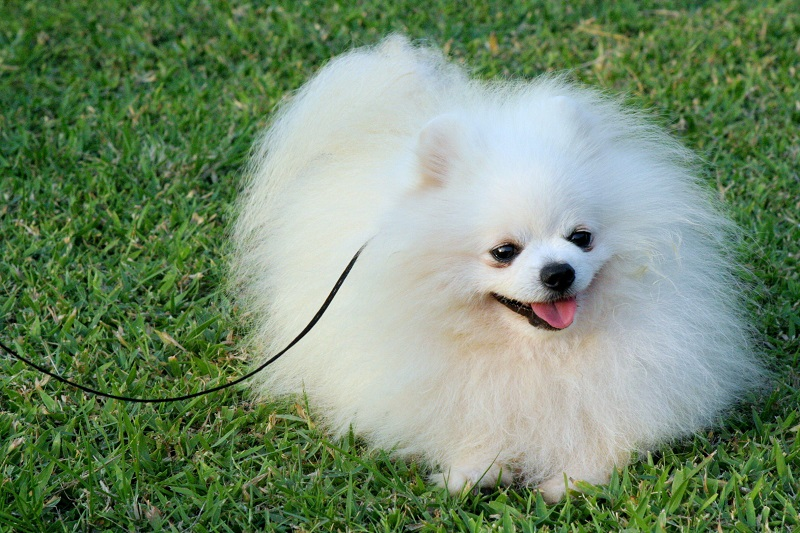 pomeranian dog names 10 best pomeranian dog names 2762