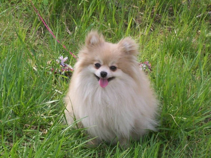 pomeranian dog names 10 best pomeranian dog names 8746
