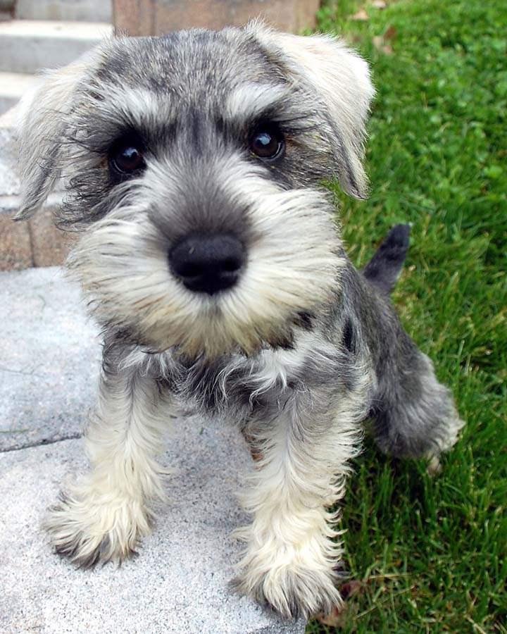 10 Best Schnauzer Dog Names