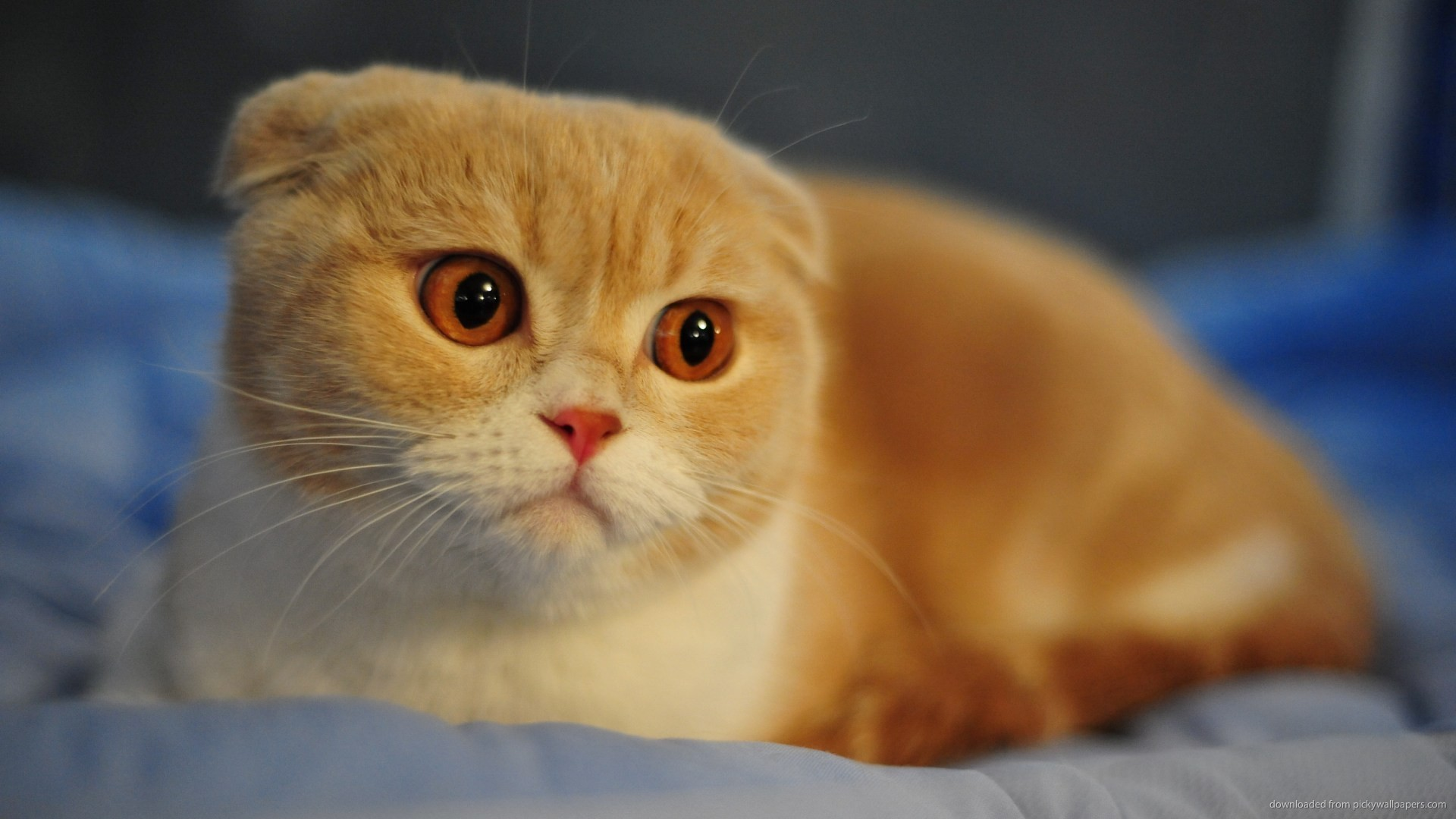 The Scottish Fold has never been accepted in Britain's cat registry