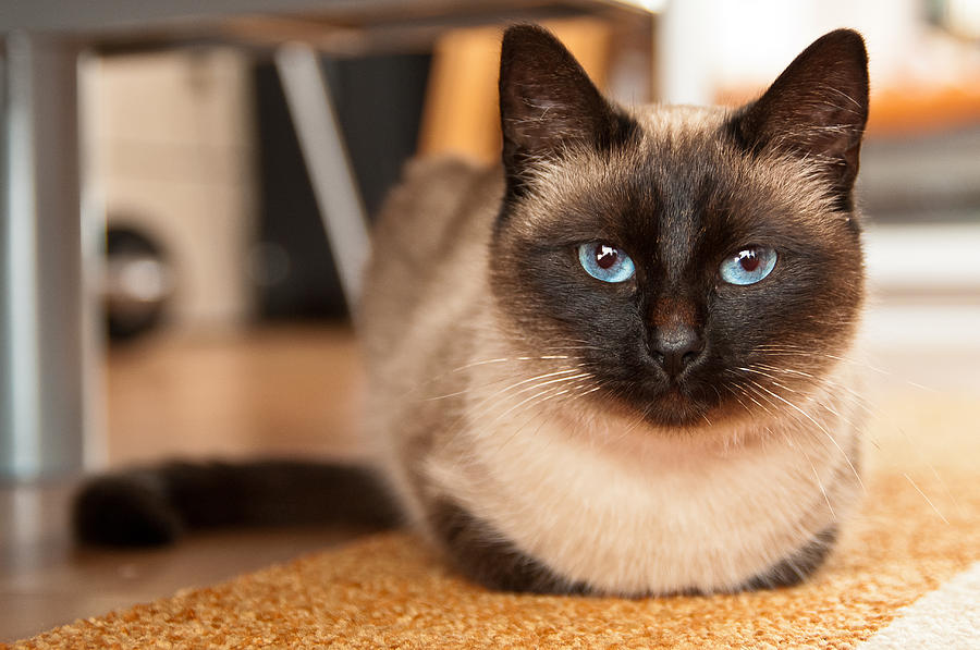 Siamese Cat Know Her Name