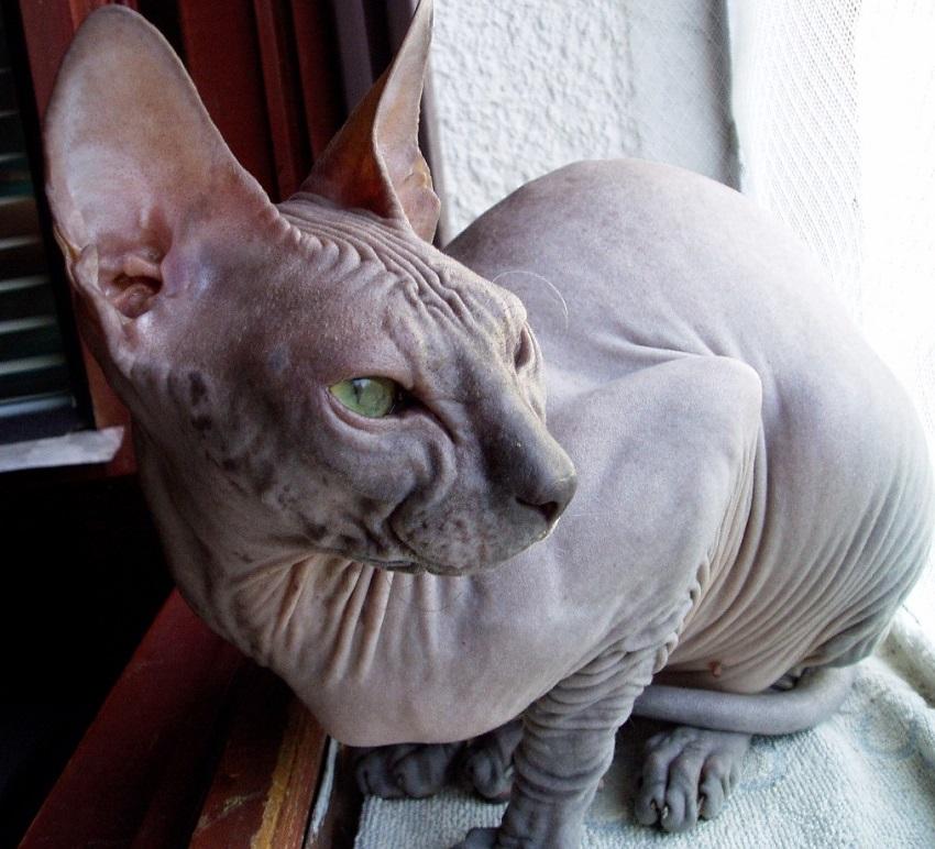 картинки домашней кошки сфинкс уже сами
