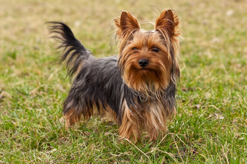 Yorkshire-Terrier awesome