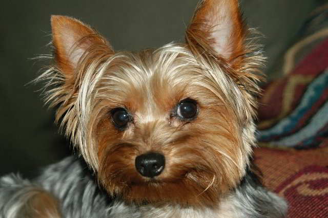 Yorkshire-Terrier- cute face