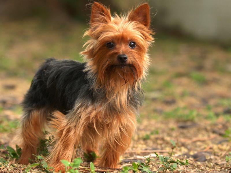 Yorkshire Terrier Dog Names