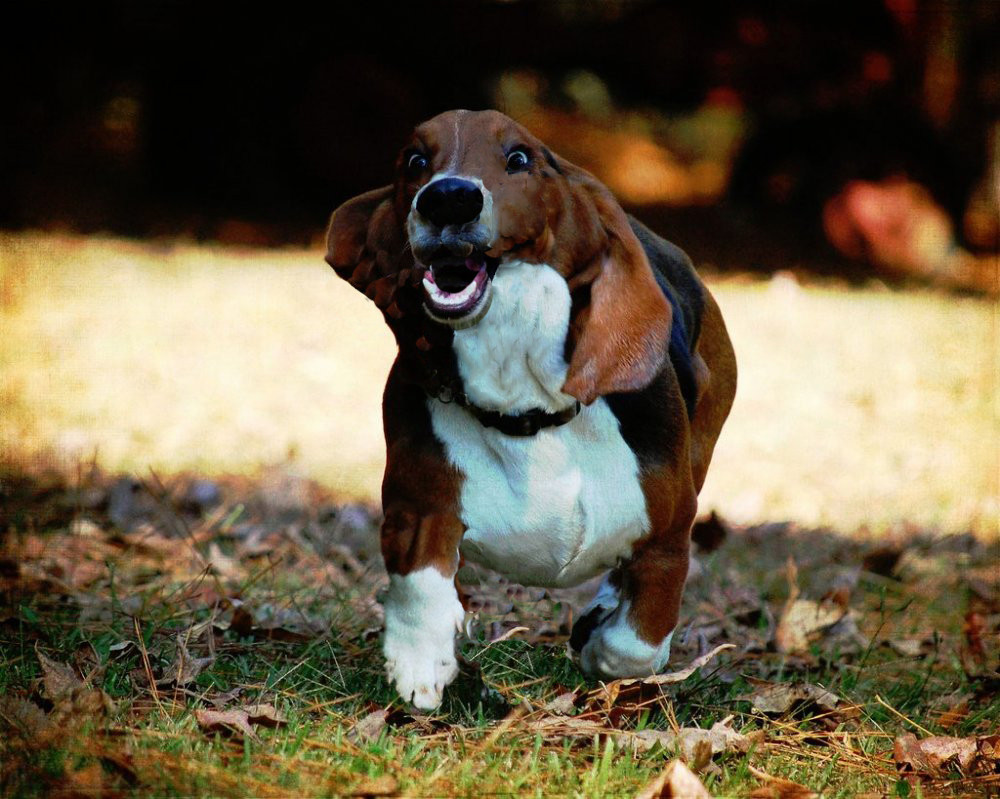 What AKC group is the basset hound in?