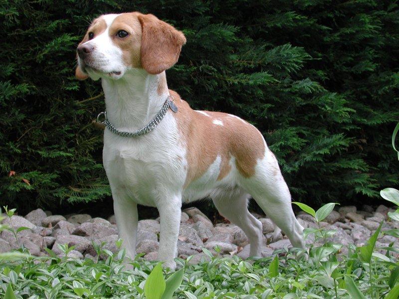 beautiful beagle photo