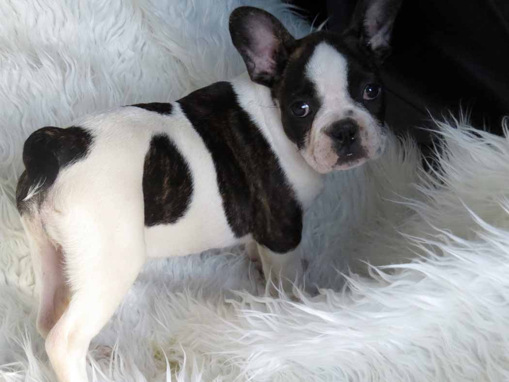 beautiful cute french bulldog puppy