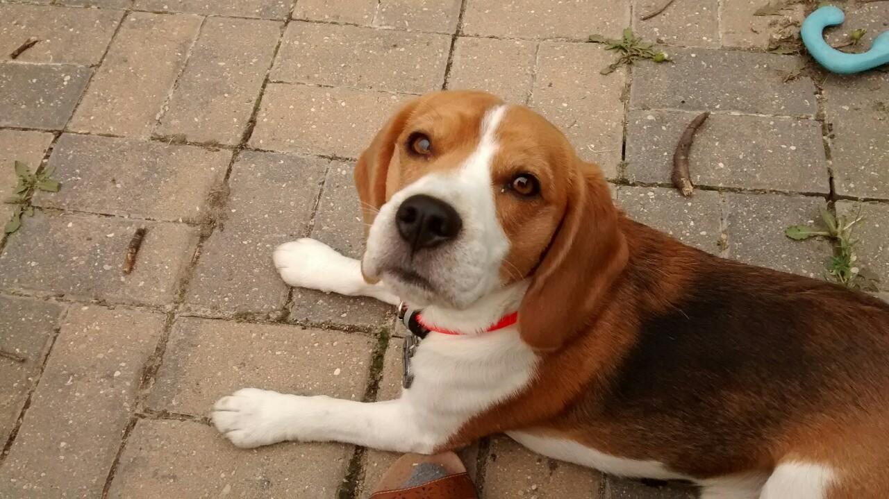 beautiful dog beagle
