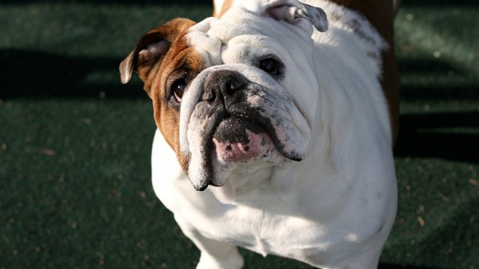 beautiful english bulldog