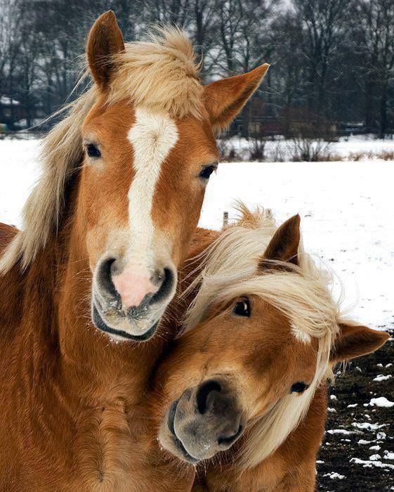 beautiful horse faces winter