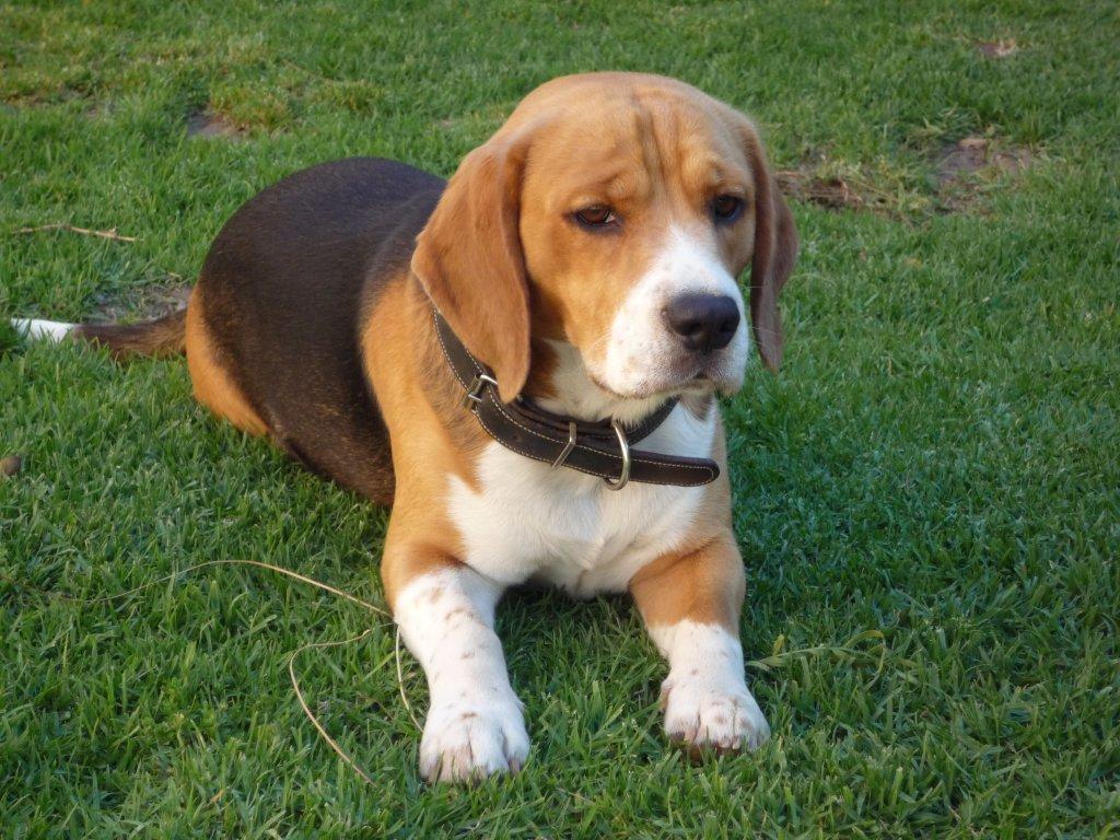 big beagle photo
