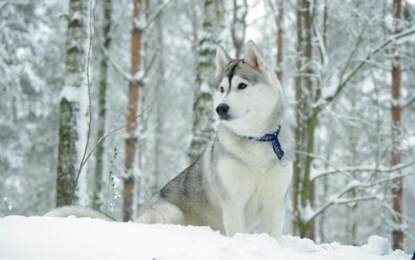 50 Most Popular Husky Dog Names