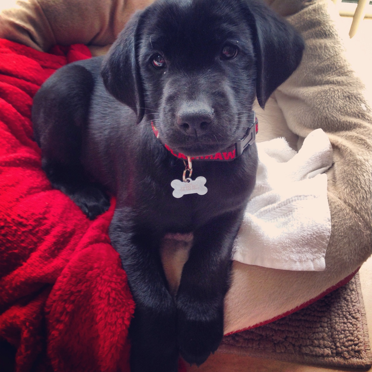 black lab captain