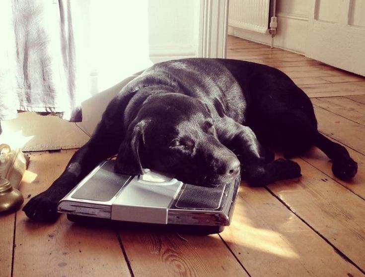 black labrador sleeps on scales