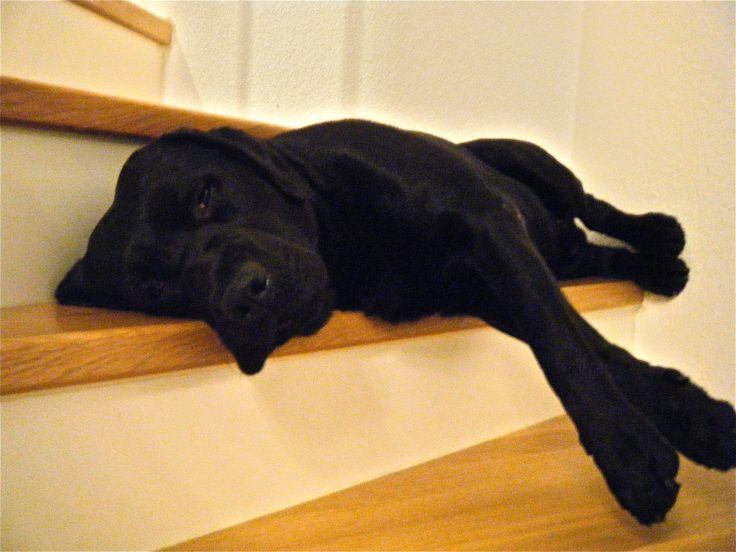 Labradors Most Fantastic Amp Awkward Sleeping Positions
