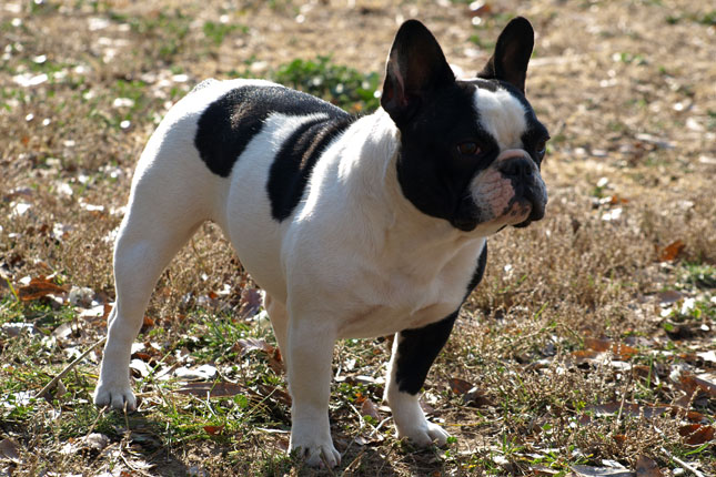 black white french bulldog