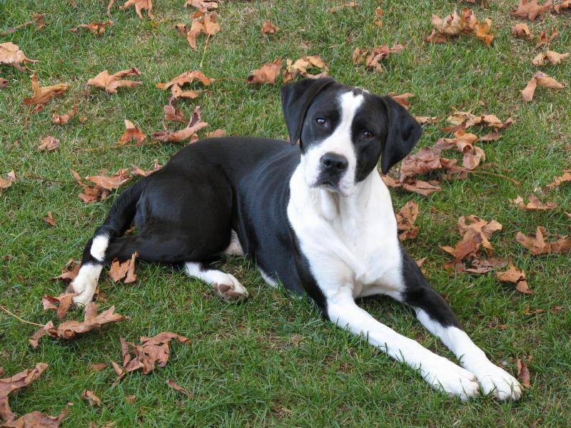 Portrait of a handsome hound. Black and white. Bluetick ...  |Black And White Hound Dog
