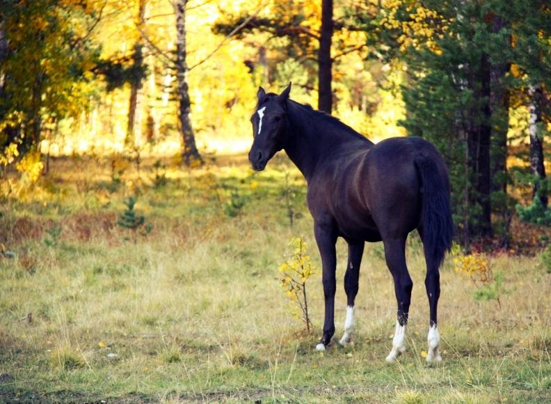 black_horse nature