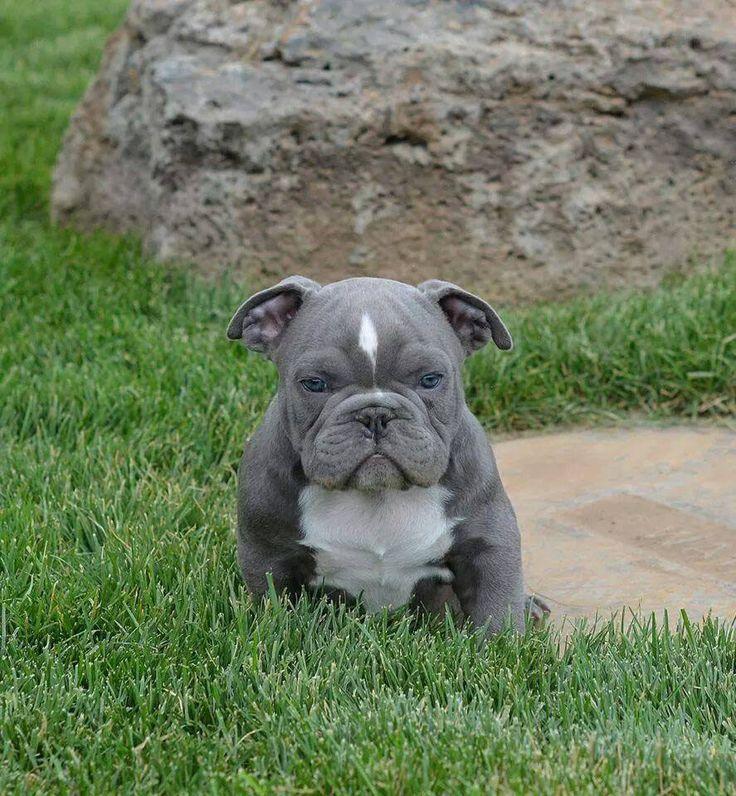 blue pitbull face