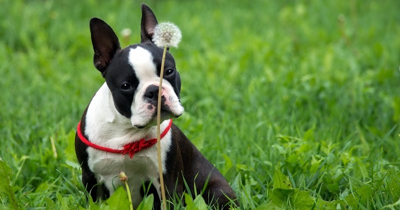 boston terrier dog names 10 best boston terrier dog names 4934