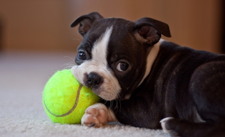 boston terrier dog names 10 best boston terrier dog names 2184
