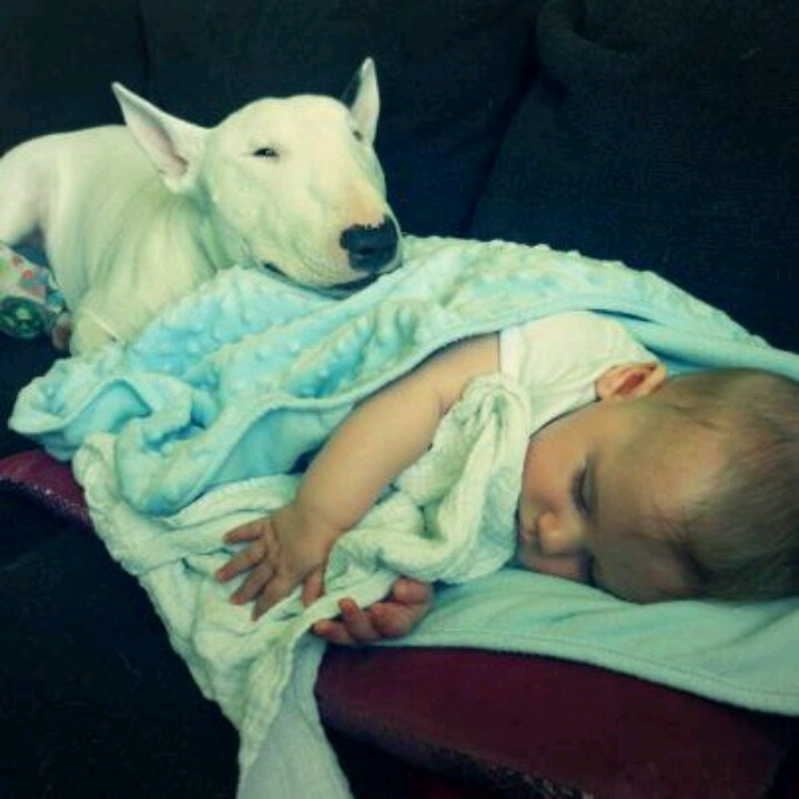 bull terrier and child
