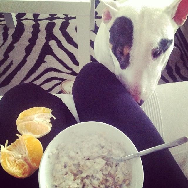 bull terrier breakfast