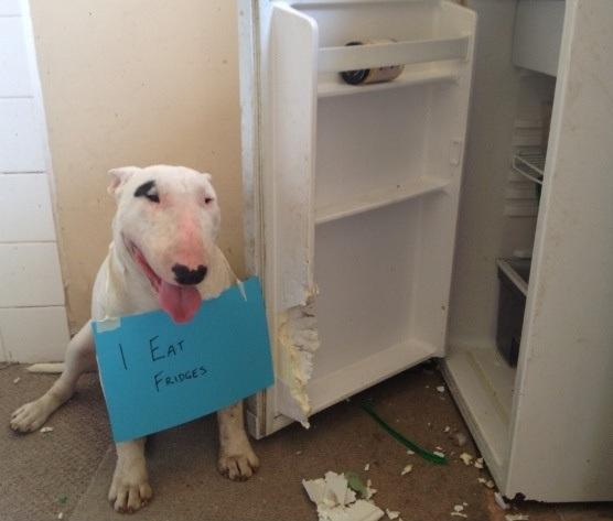 bull terrier funny dog