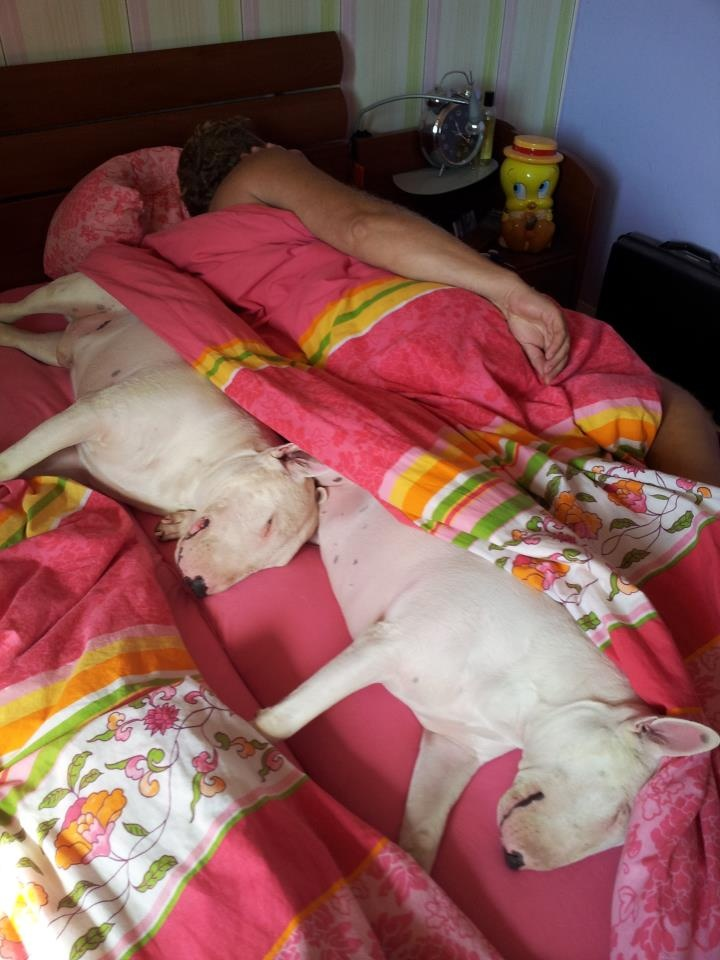 bull terrier sharing a bed
