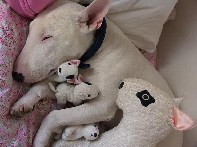 bull terrier sleeping