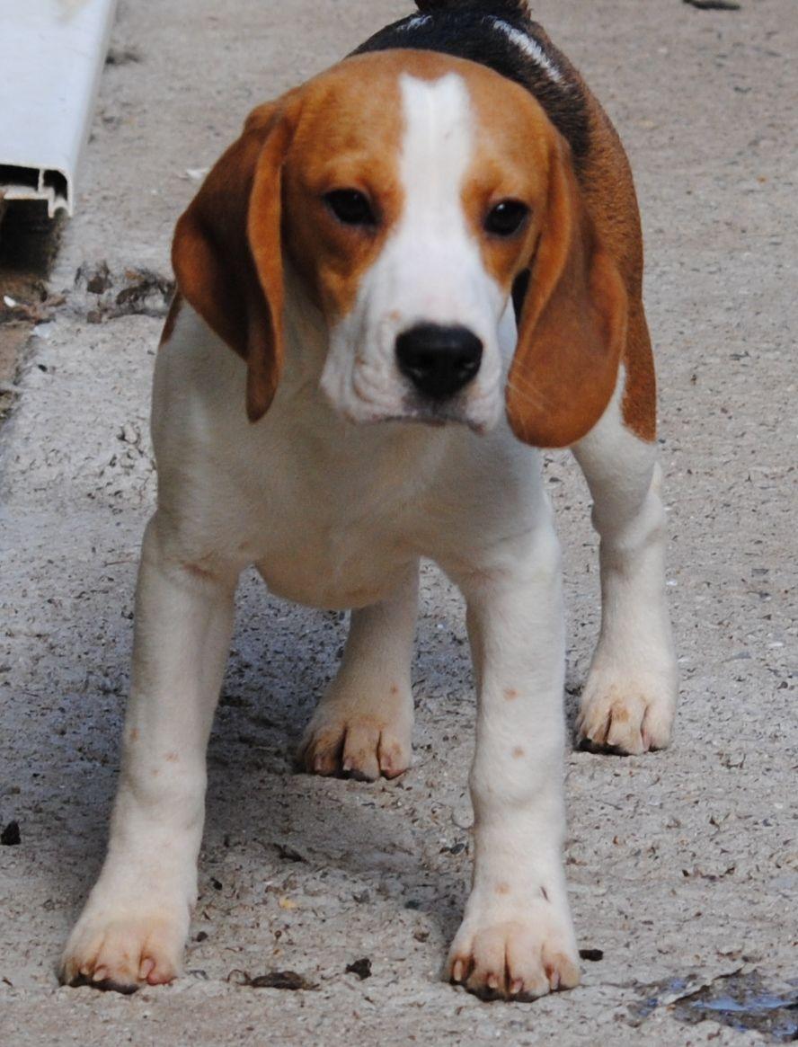 cool dog beagle photo