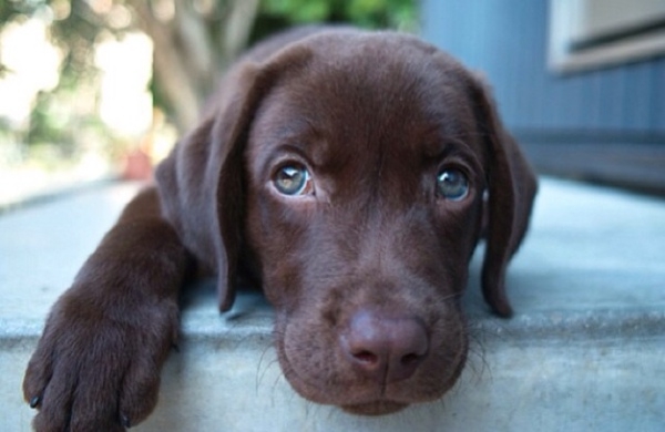 cute chocolate puppy