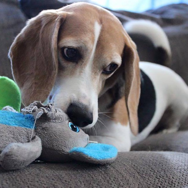 Must see Toy Beagle Adorable Dog - cute-dog-beagle-toy  Pic_607450  .jpg