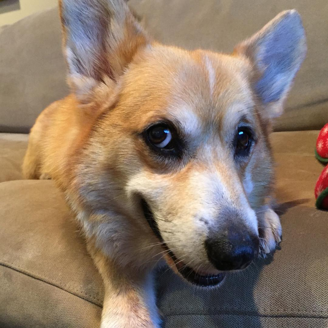 cute eyes corgi