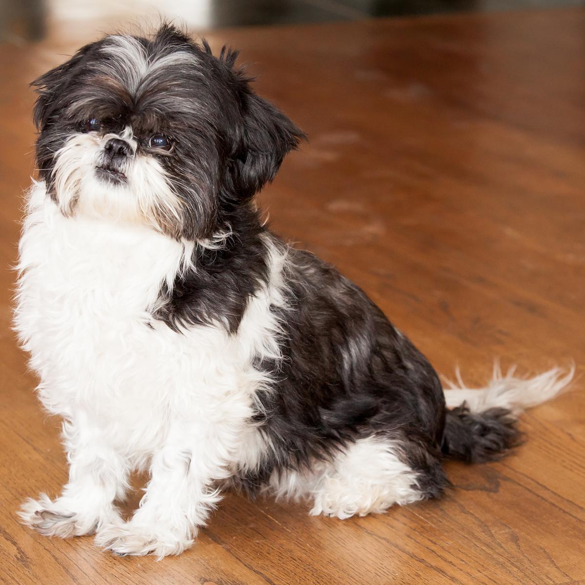cute funny dog shih tzu