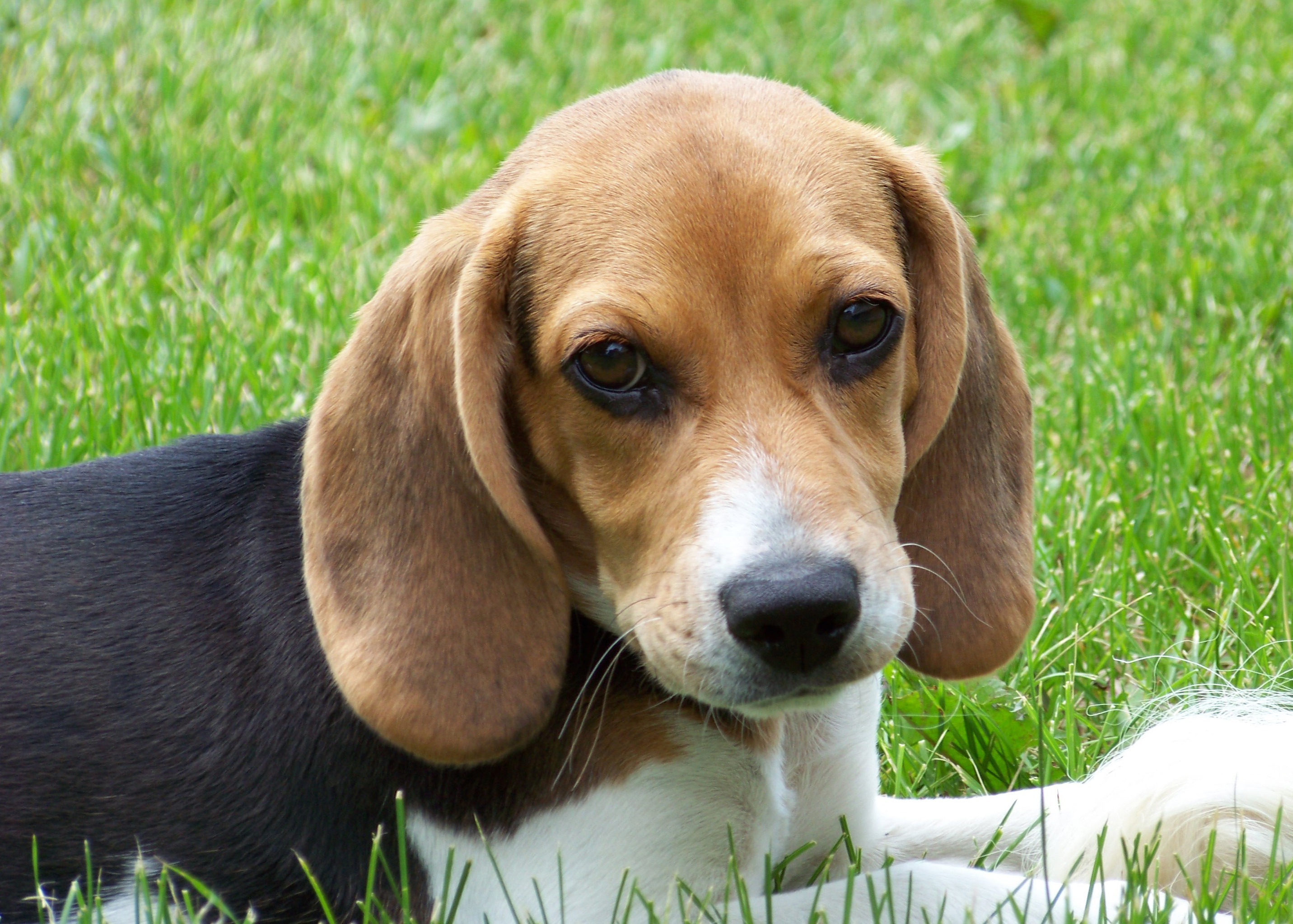 cute jack beagle
