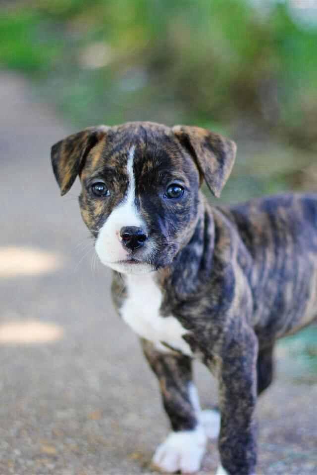 cute pitbull puppy