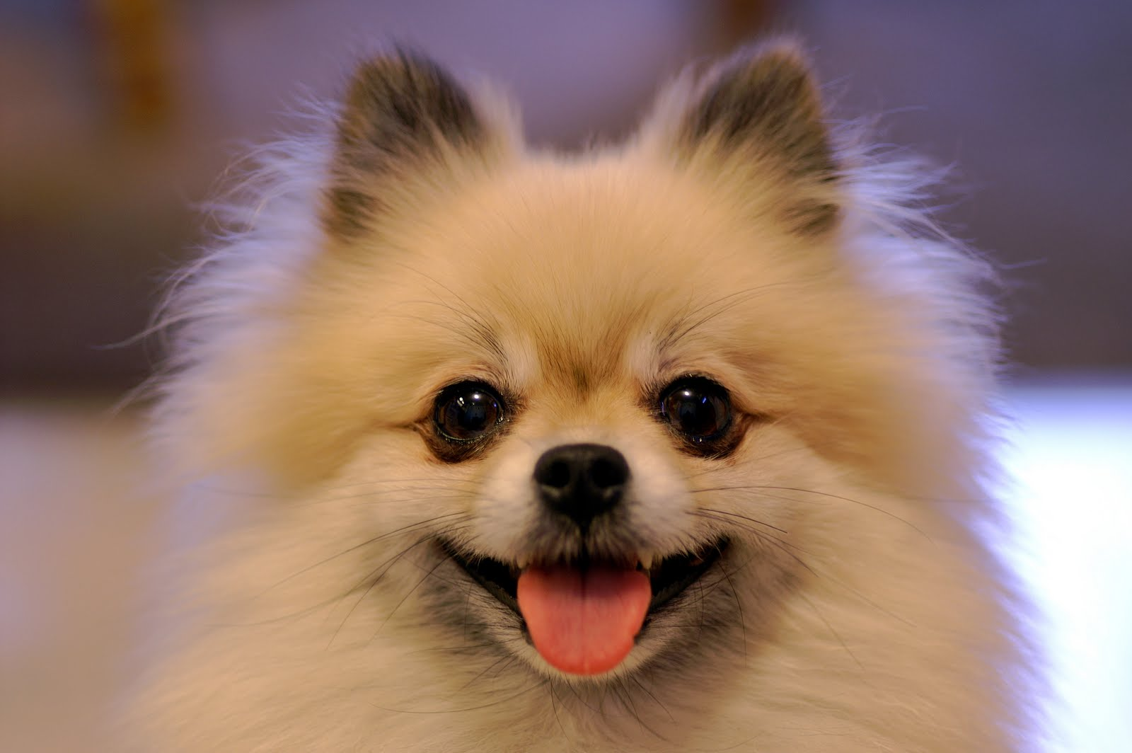 10 Best Pomeranian Dog Names