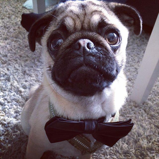 cute pug dog photo