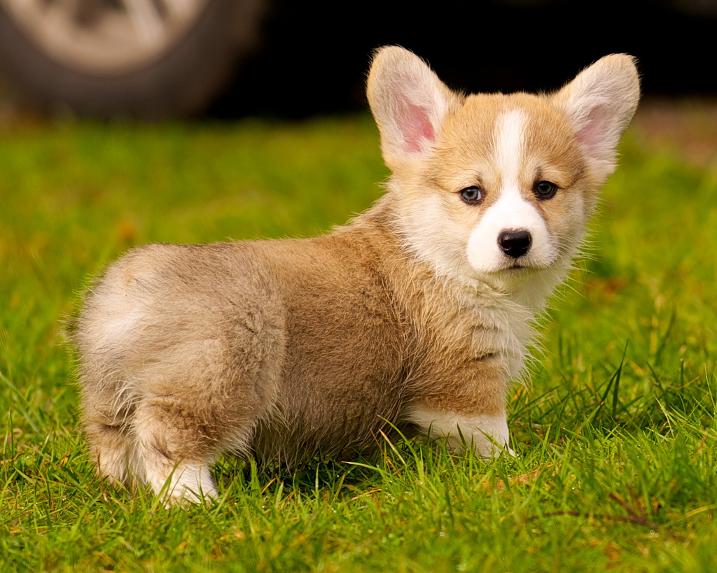 cute puppy corgi oscar