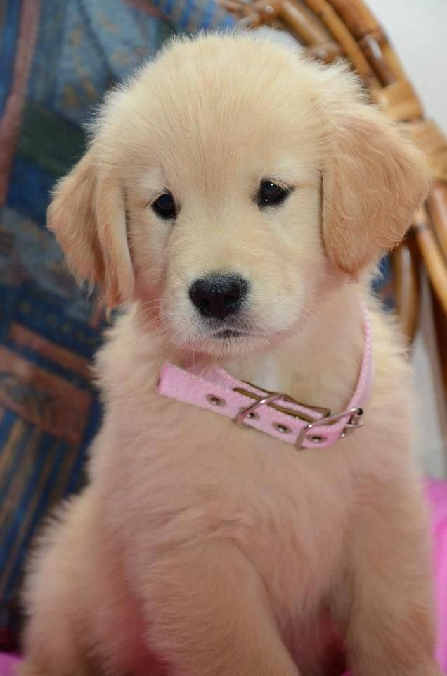 cute puppy golden toto