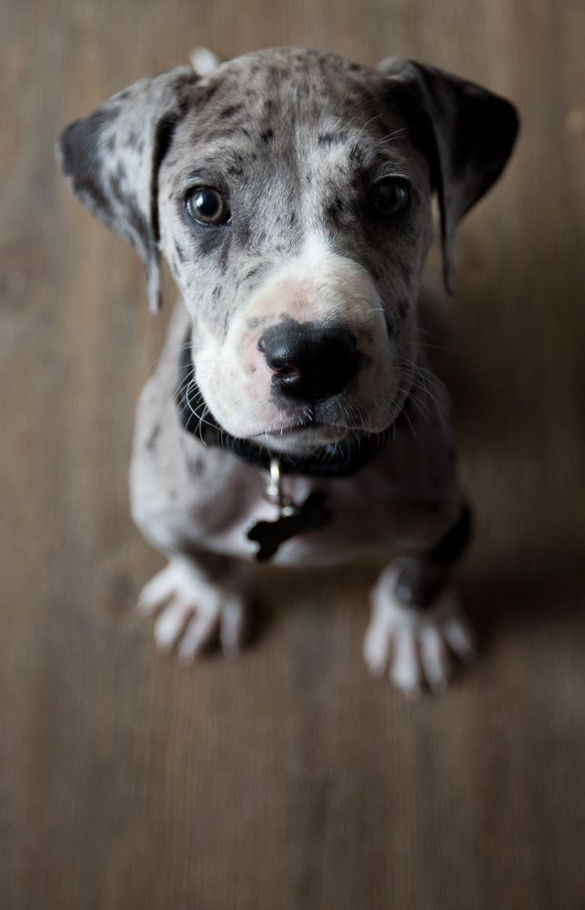 cute puppy great dane photography