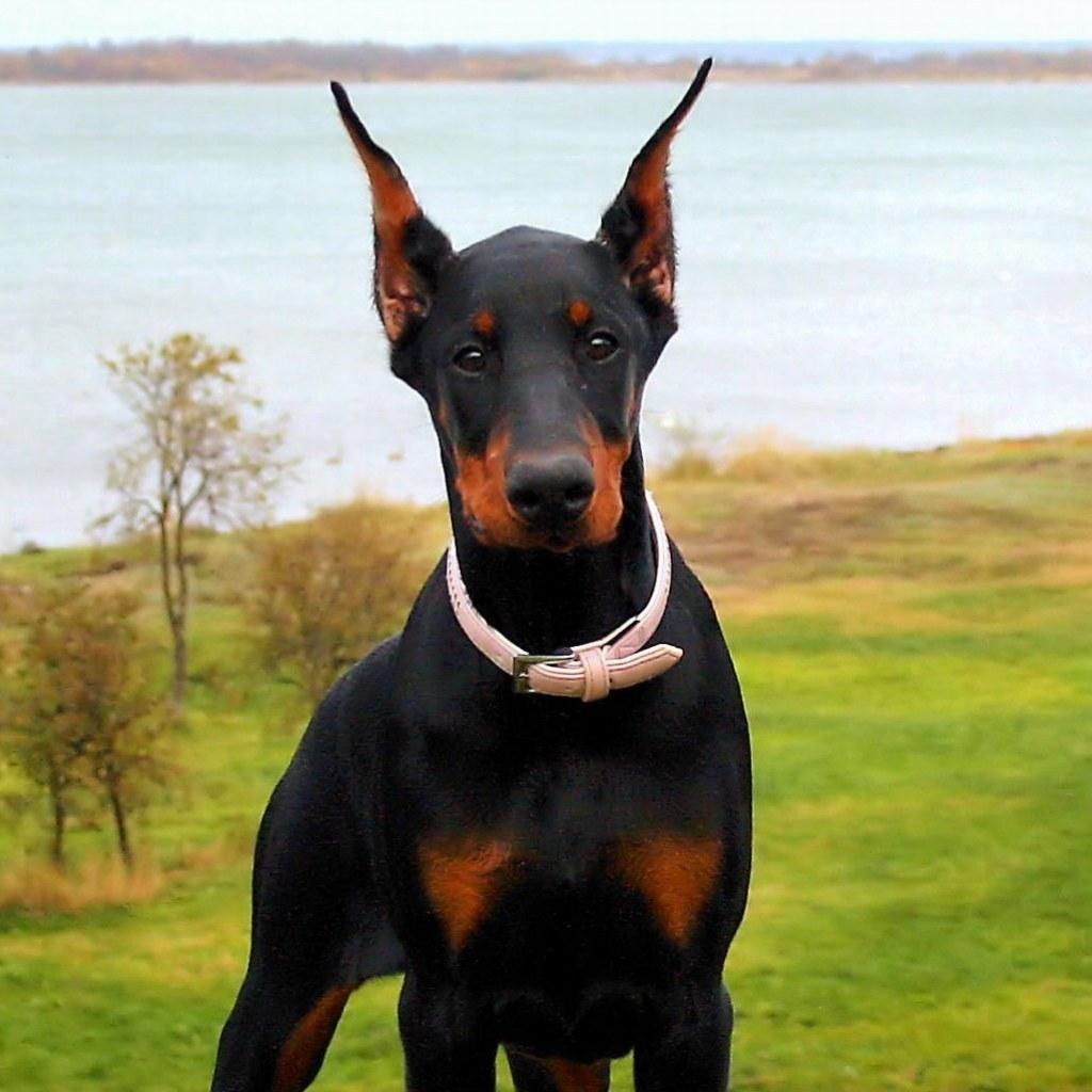 10 Best Doberman Pinscher Dog Names