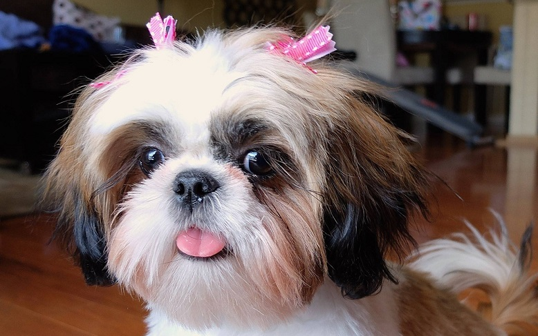 70 Most Popular Shih Tzu Names