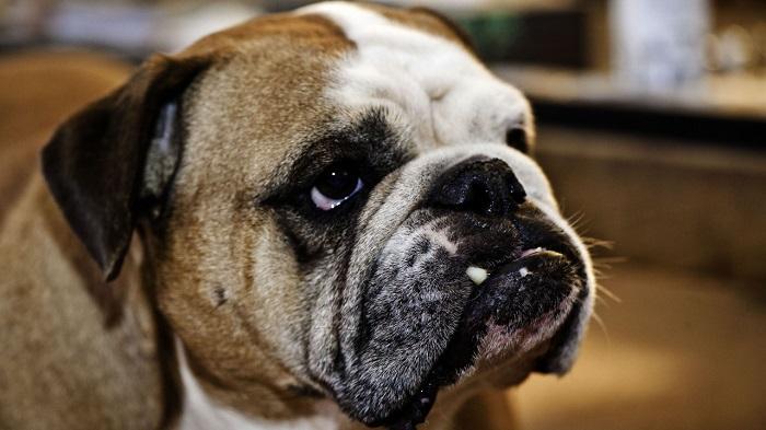 face english bulldog